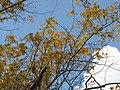 Starr-110209-0961-Carya illinoinensis-habit fall colors-MISC Piiholo-Maui (25075067135).jpg