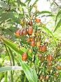 Starr-110411-4947-Dianella sandwicensis-brown fruit form sandwicensis-Hawea Pl Olinda-Maui (24714839899).jpg