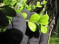 Starr-110609-6085-Buxus sp-leaves-Shibuya Farm Kula-Maui (25070367376).jpg