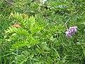Starr-110609-6197-Gliricidia sepium-flowers and leaves-Shibuya Farm Kula-Maui (25070131096).jpg