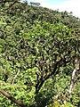 Starr-110929-0096-Polyscias oahuensis-habit-Hanaula-Maui (24997571042).jpg