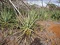 Starr-121220-1304-Agave sisalana-habit-Near Puu Moaulaiki-Kahoolawe (24566701914).jpg