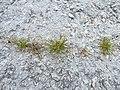 Starr-150402-0691-Poa annua-habit on abandoned runway-Northeast Eastern Island-Midway Atoll (25273752835).jpg