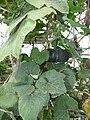Starr-170615-0230-Cucurbita maxima-pumpkin kabocha like-Hydroponics Town Sand Island-Midway Atoll (35551906923).jpg