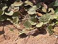 Starr 030525-0018 Solanum nelsonii.jpg