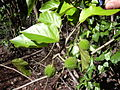 Starr 040105-0099 Croton guatemalensis.jpg