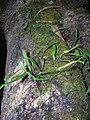Starr 041221-1909 Lepisorus thunbergianus.jpg