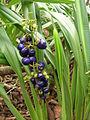 Starr 060221-6061 Dianella sandwicensis.jpg