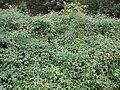 Starr 061205-1885 Rubus glaucus.jpg