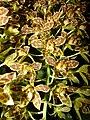 Starr 070727-7721 Unknown orchidaceae.jpg