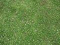 Starr 070815-8047 Phyla nodiflora.jpg