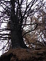 Starr 070908-9118 Pinus sp..jpg