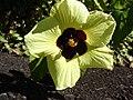 Starr 071024-0099 Hibiscus ovalifolius.jpg