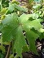 Starr 080117-1914 Hibiscus brackenridgei subsp. brackenridgei.jpg