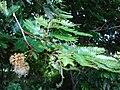 Starr 080716-9406 Unknown fabaceae.jpg