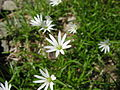 Stellaria nipponica.jpg