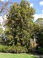 Stenocarpus sinuatus.jpg