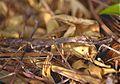 Stick Mantis (Popa spurca crassa) (9590496394).jpg