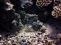 Stonefish chilling in the sun in Egypt.jpg