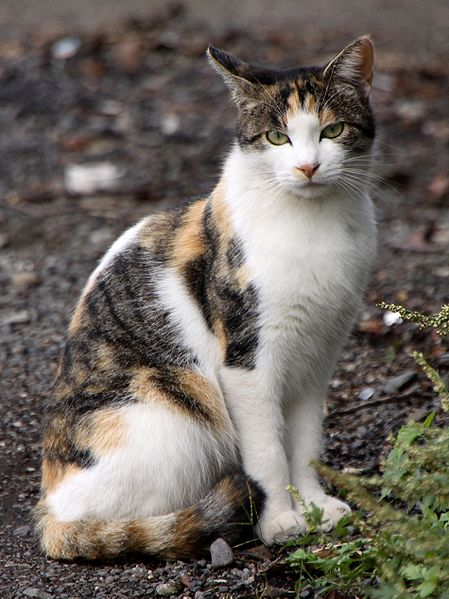 File:Stray calico cat near Sagami River-01.jpg