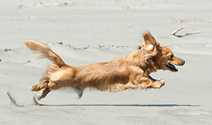 Running Dachshund, stretched out.