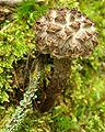 Strobilomyces floccopus JH.jpg