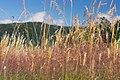 Summer Grasses (26021581).jpeg
