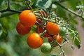 Sun Gold Tomatoes (4866993719).jpg