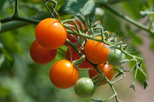 Sun Gold Tomatoes (4866993719)