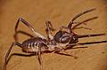 Sun Spider (Solifugae) (16706187405).jpg