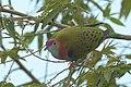 Superb fruit-dove at Tomohon (5).JPG