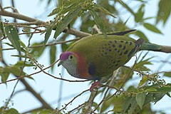 Superb fruit-dove at Tomohon (5).JPG
