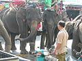 Surin elephants 03.jpg