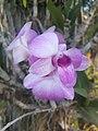 Suvarnabhumi Orchids Farm IMG 20160322 080444 (27447083185).jpg