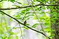 Swainson's warbler (26783552415).jpg