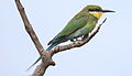 Swallow-tailed bee-eater, Merops hirundineus, at Marakele National Park, Limpopo, South Africa (24112352181).jpg