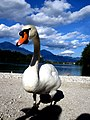 Swan at Lake Bled.jpg
