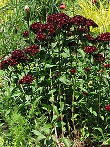 Sweetwilliam Flowers on 220px Sweet William Dianthus Barbatus  27heart Attack 27 Stalks 2112px