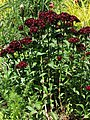 Sweet William Dianthus barbatus 'Heart Attack' Stalks 2112px.jpg