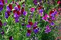 Sweetpeas flowers image.jpg