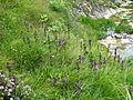 Swertia perennis, J. Garmendia 6030.JPG
