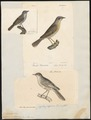 Sylvia subalpina - 1700-1880 - Print - Iconographia Zoologica - Special Collections University of Amsterdam - UBA01 IZ16200141.tif