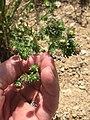 Symphyotrichum frondosum 23140908.jpg