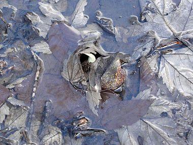 Symplocarpus foetidus SCA-05538.jpg