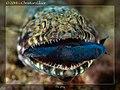 Synodontidae - Lizardfish on the hunt (14220084406).jpg
