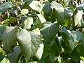 Syringa vulgaris (3).jpg