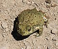 TOAD, RED-SPOTTED (Bufo punctatus) (9-16-12) california gulch, scc, az -01 (7994647734).jpg