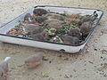 Taeniopygia guttata in the Silesian Zoological Garden 04.JPG