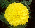 Tagetes erecta Marigold flower at Madhurawada 04.JPG