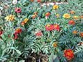Tagetes patula in bd 02.jpg